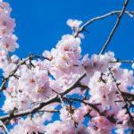 2020年お花見「大阪城公園」開花時期とバーベキュー情報